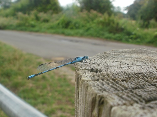 a damselfly on the Thames Path